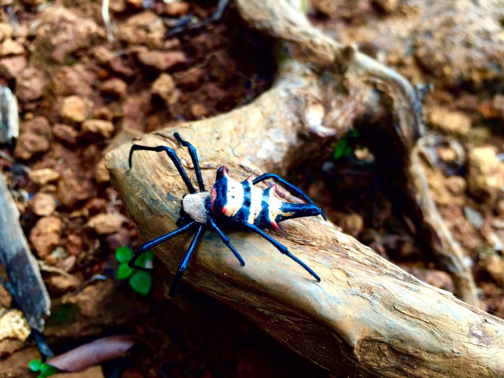The jungle spider our guide found certainly looked dangerous! I have no idea what species it is though.