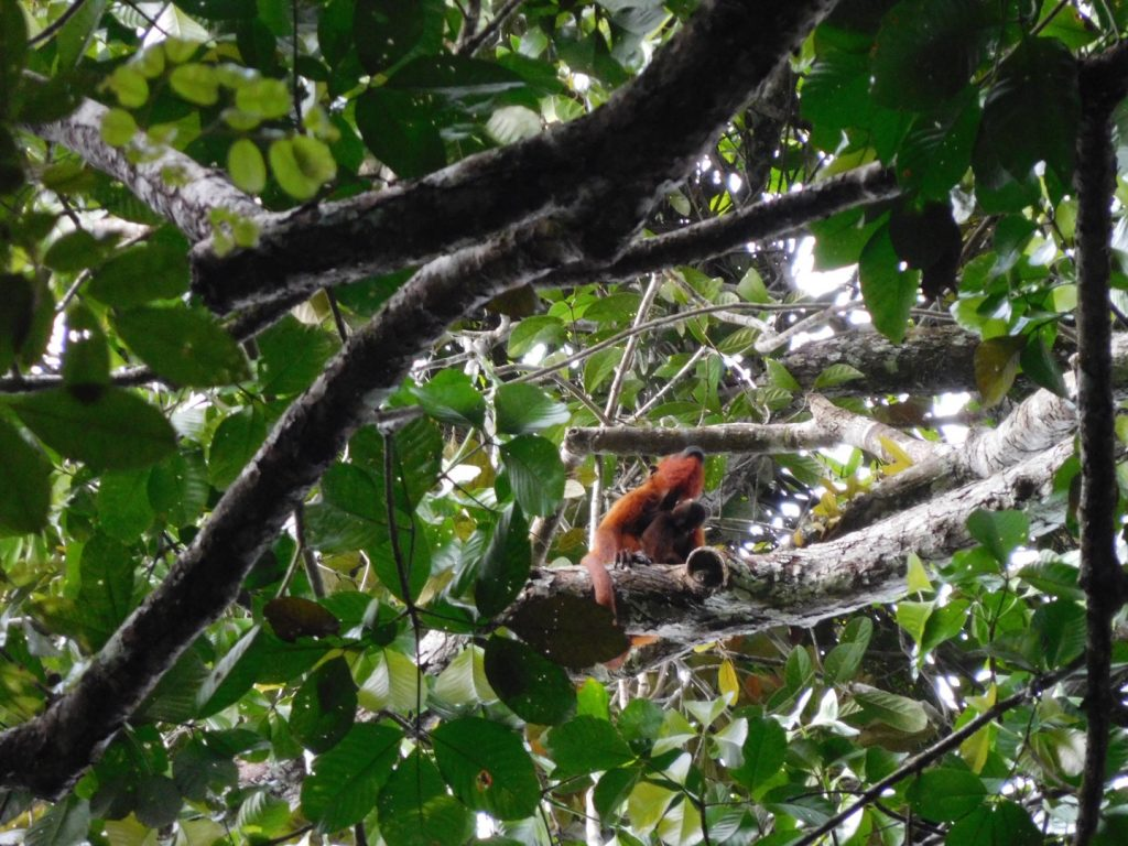 Mother and baby red howler monkeys